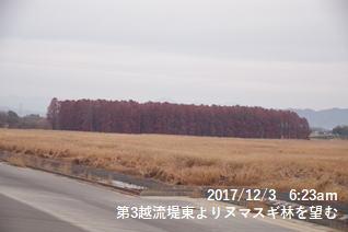 第3越流堤東よりヌマスギ林を望む