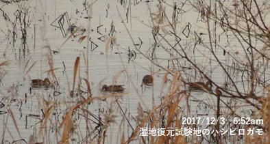湿地復元試験地のハシビロガモ