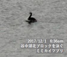 谷中湖北ブロックを泳ぐミミカイツブリ
