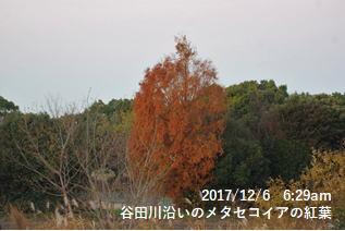 谷田川沿いのメタセコイアの紅葉