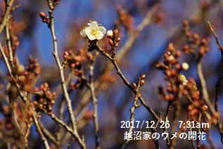 越沼家のウメの開花