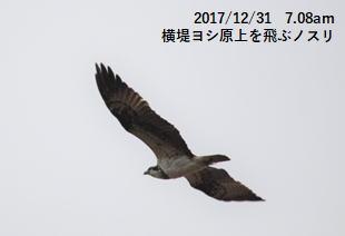 横堤ヨシ原上を飛ぶノスリ