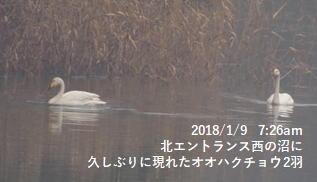 北エントランス西の沼に久しぶりに現れたオオハクチョウ2羽