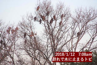 群れで木に止まるトビ