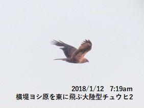 横堤ヨシ原を東に飛ぶ大陸型チュウヒ2