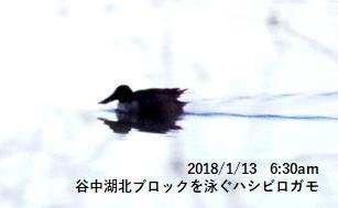 谷中湖北ブロックを泳ぐハシビロガモ