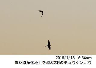 ヨシ原浄化地上を飛ぶ2羽のチョウゲンボウ