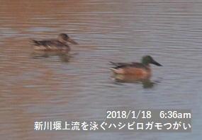 新川堰上流を泳ぐハシビロガモつがい