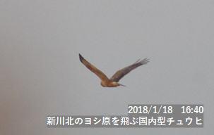 新川北のヨシ原を飛ぶ国内型チュウヒ
