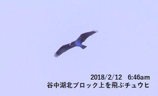 谷中湖北ブロック上を飛ぶチュウヒ