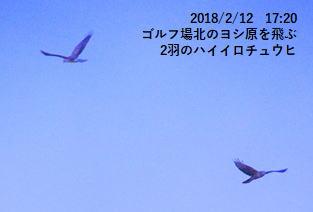 ゴルフ場北のヨシ原を飛ぶ2羽のハイイロチュウヒ