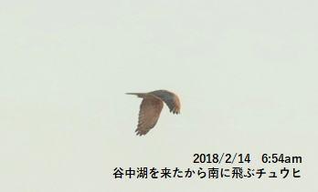 谷中湖を来たから南に飛ぶチュウヒ
