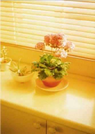 窓辺の桜草