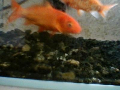金魚 ビスケットカメラ