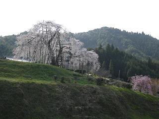 信楽 畑のしだれ桜