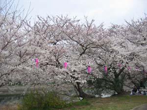 蓮田桜2006