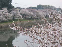 蓮田桜2006-1
