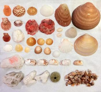 南房総の貝殻