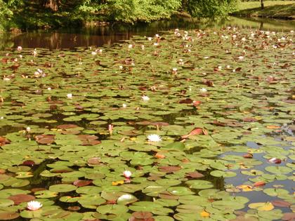神代植物公園の睡蓮