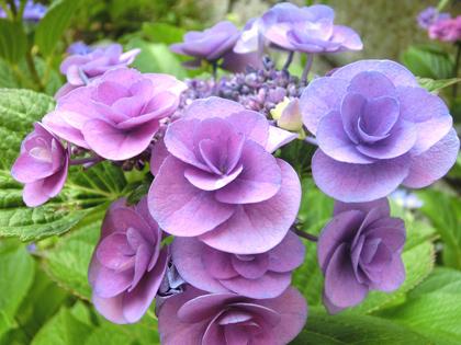 紫のアジサイ