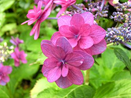 赤紫のアジサイ