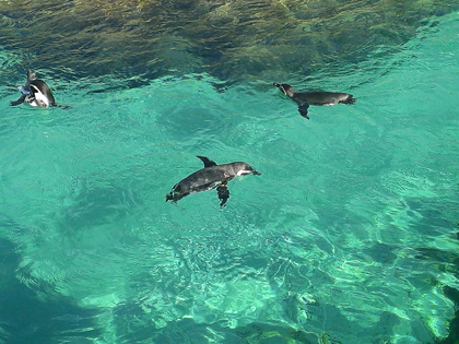 葛西臨海公園のペンギン