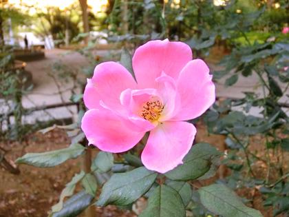 新宿中央公園のバラ
