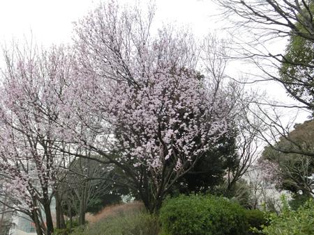 紅葉山公園の桜