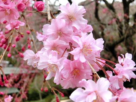 新宿御苑のしだれ桜