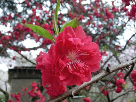 新宿御苑の桃の花