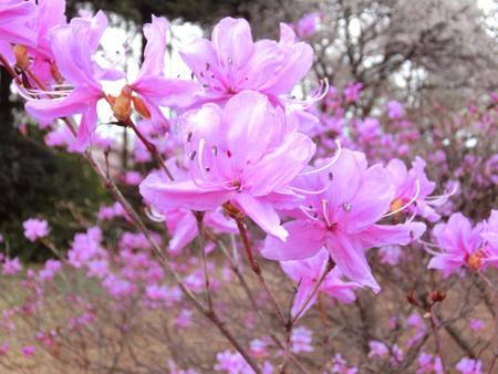 新宿御苑のミツバツツジ