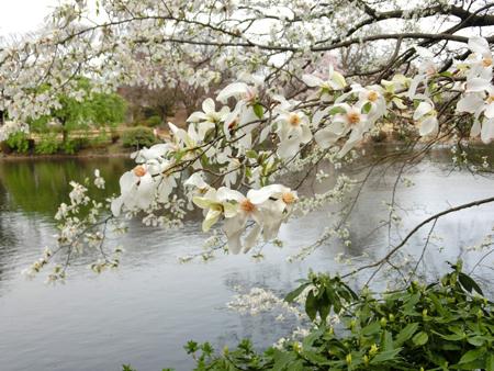 新宿御苑のコブシ