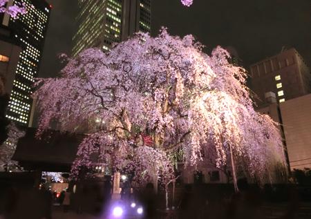 常圓寺の桜のライトアップ