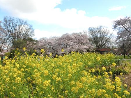 代々木公園の桜と菜の花