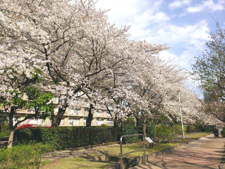 せせらぎの里公苑の桜