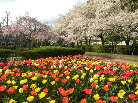 せせらぎの里公苑のチューリップと桜