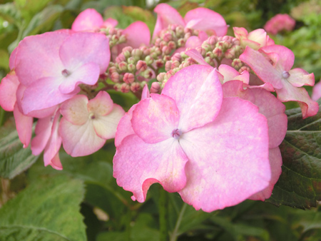 水元公園の紫陽花