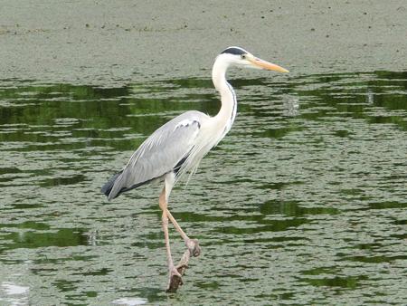 水元公園の鷺