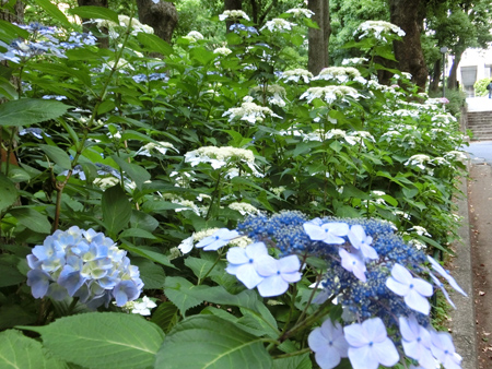 新宿中央公園のアジサイ