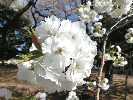 新宿御苑の桜2018白妙