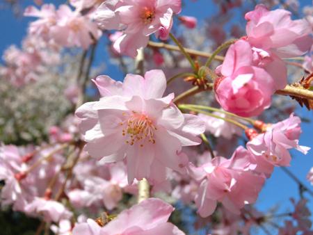 新宿御苑の桜2018八重紅枝垂