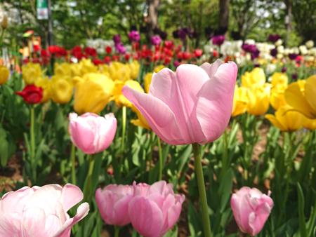 新宿中央公園のチューリップ