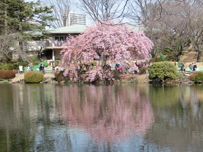 新宿御苑の修善寺寒桜