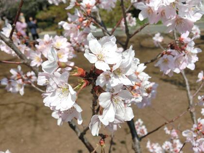 新宿御苑の啓翁桜