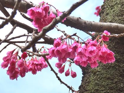 新宿御苑の寒緋桜