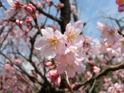 新宿御苑の大寒桜