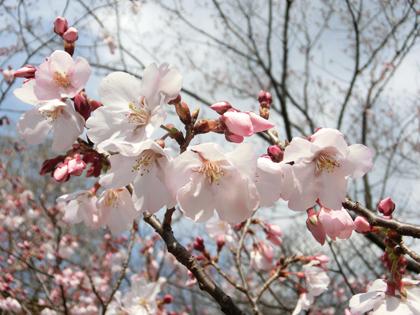 新宿御苑の桜(高遠小彼岸)