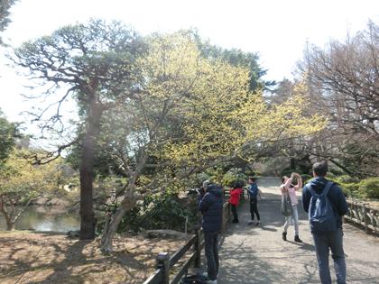 新宿御苑のサンシュユ