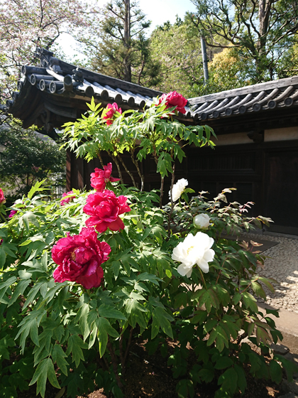 新宿薬王院の牡丹