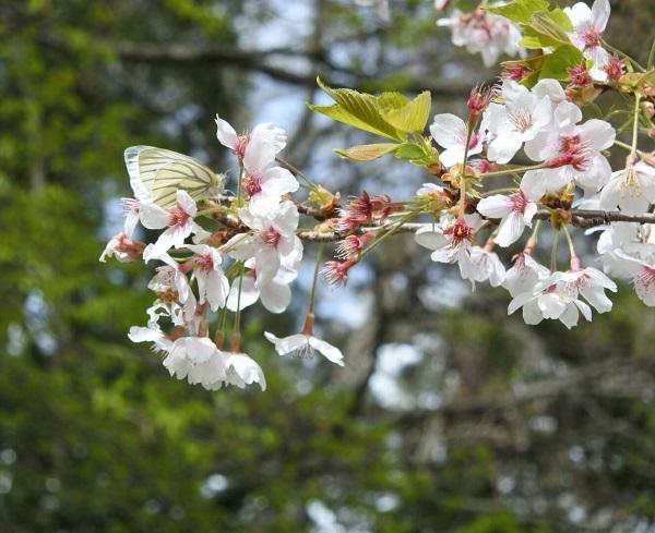 桜と蝶.jpg